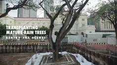 Transplanting heritage rain trees at Empress Place
