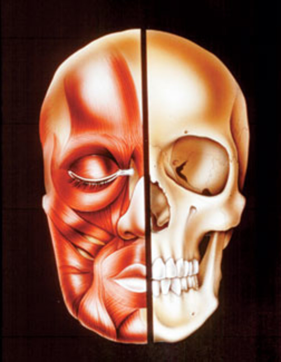 split human skull