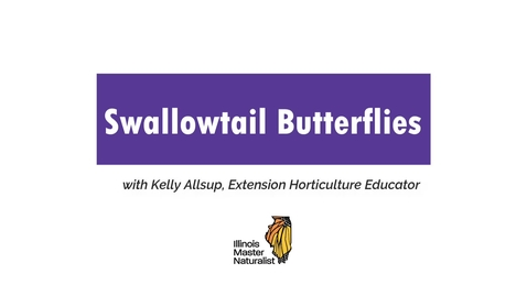 Thumbnail for entry Swallowtail Butterflies