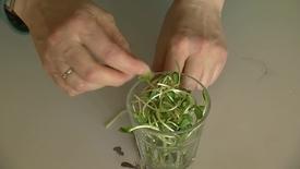 Thumbnail for entry Groddning - ett smart sätt att få i sig vitaminet folat