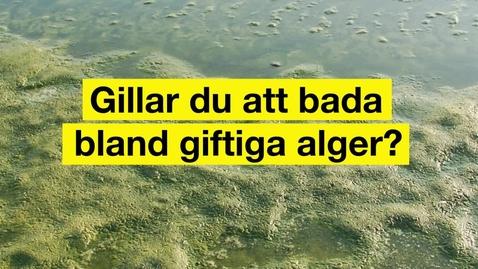 Gillar du att bada bland giftiga alger?