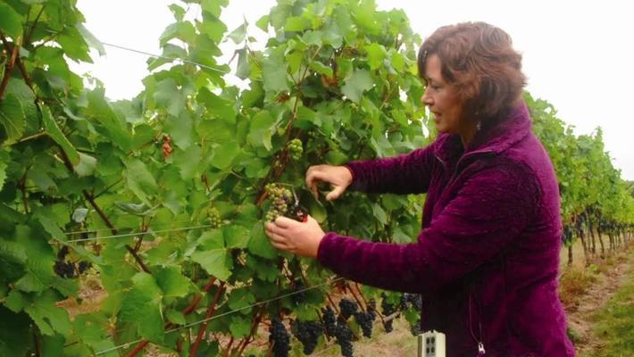 NW Wine Studies- Identifying  Second Crop Clusters