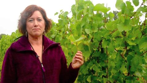 NW Wine Studies-Identifying Magnesium Deficiency