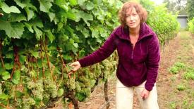 Thumbnail for entry NW Wine Studies-Fruit Maturity Sampling-Part 1