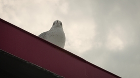 Thumbnail for entry Video of a seagull