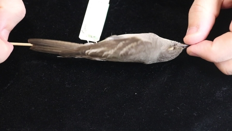 Thumbnail for entry WFC111L_Specimen_videos_Western_Wood-Pewee