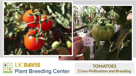 Thumbnail for entry Art of Tomato Breeding