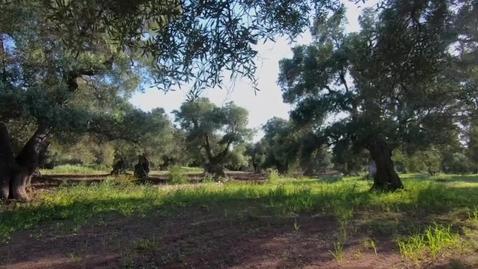 Il Disseccamento degli Ulivi in Puglia
