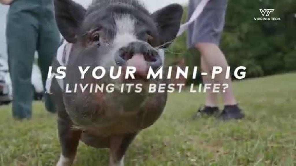 Calling all mini pig parents!