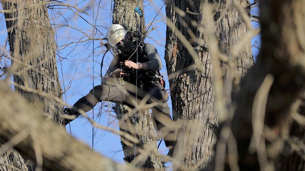 Cherished oak tree provides a learning opportunity