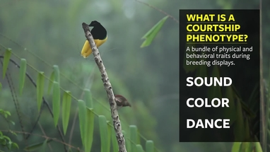Females drive the song and dance of male birds-of-paradise