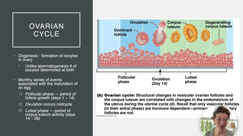 Thumbnail for entry Ch 27 X - Ovarian and Uterine Cycles
