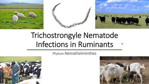 Thumbnail for entry VM 530-Trichostrongyle Nematode Infections in Ruminants-Phylum Nemathelminthes-Mansfield