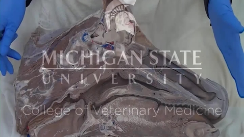 Thumbnail for entry VM 523-Lymphatic structures of the ruminant head Dissection video