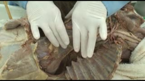 Thumbnail for entry VM 518-Pericardium and heart in situ (dog)