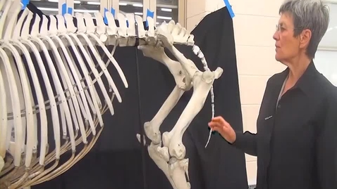 Thumbnail for entry VM 516-Hind limb bones of the horse and cow (lab video)