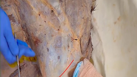 Thumbnail for entry VM 516 Lateral and dorsal extrinsic m of the horse forelimb (Dissection video)
