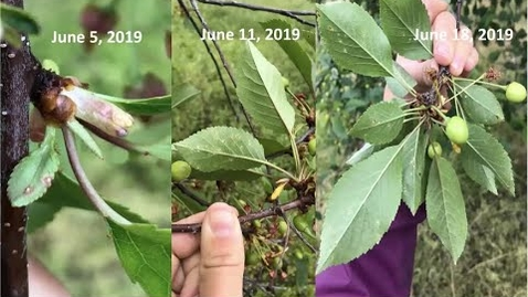 Thumbnail for entry Cherry Disease Update for 2020