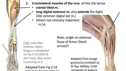 Thumbnail for entry VM 516 Muscles and nerves of the crus and LA adaptations (video presentation)
