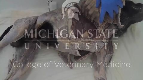 Thumbnail for entry VM 517-520-Major nerves of thorax dog Dissection video