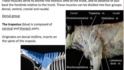 Thumbnail for entry VM 516-Extrinsic muscles of the forelimb