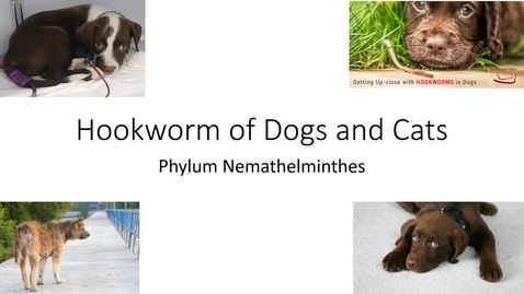 Thumbnail for entry VM 530-Hookworm of Dogs and Cats-Phylum Nemathelminthes-Mansfield