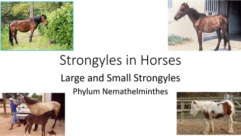 Thumbnail for entry VM 530-Strongyles in Horses-Large & Small Strongyles-Phylum Nemathelminthes-Mansfield