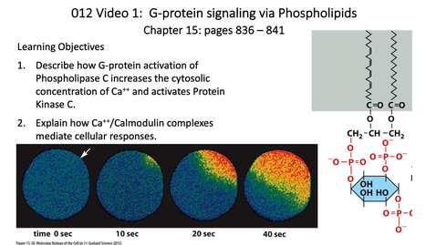 Thumbnail for entry 012 Video 1 G-Protein signaling via phospholipids