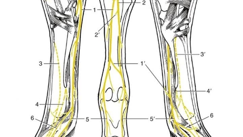 Thumbnail for entry VM 516-Equine distal hind limb nerves Video presentation