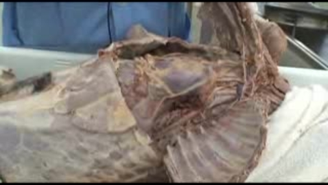 Thumbnail for entry VM 518-Thoracic nerves and vessels (1) Dissection video (dog)